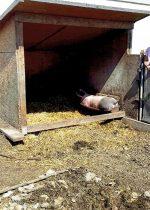 Schweine 001 (732x1024)
